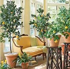 Dwarf citrus trees grown indoors.. What's not to love? They smell amazing, look pretty, and provide you with healthy, delicious citrus.