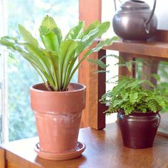 Bird's Nest Fern is a slow-growing plant with bright green fronds that radiate from the center of the plant, creating a vase or bird's nest shape. It's versatile and easy to grow. Easy Care Plants, All Plants, Green Plants, Growing Plants, Indoor Ferns, Indoor Plants, Potted Plants, Rabbit Foot Fern, Angel Plant