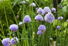 ~growing onion chives with blooms in garden~
