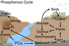 Phosphorus Cycle httpclassesgeologyillinoisedu05SprgClass