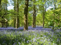 Bluebells at Blickling, Aylsham   Contributed by: Russell Baylin
