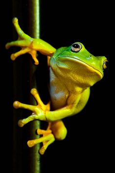 Green tree frog Best Picture For Lizards pattern For Your Taste You are looking for something, and it is going … Nature Animals, Baby Animals, Cute Animals, Wild Animals, Green Tree Frog, Green Trees, Amazing Frog, Funny Frogs, Frog Pictures