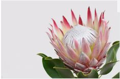 Red protea flower bunch on a white isolated background. for design. Flor Protea, Protea Art, Protea Flower, Exotic Flowers, Beautiful Flowers, Sunflower Wallpaper, African Flowers, Plant Illustration, Bunch Of Flowers