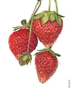 These Strawberries have been on the cover of Artists & Illustrators magazine plus they won the International Artist Magazine Grand Prize in 2011! I think it was the funny little mouldy one being in there that got them so much attention!? They'll always be super special to me. Botanical Flowers, Botanical Illustration, Botanical Prints, Watercolor Fruit, Fruit Painting, Watercolour Paintings, Flower Paintings, Watercolours, Anna Mason
