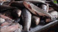 Big Wholesale fish market || FISH MARKET - incredible fish market of Bai... Universe News, The Incredibles, Fish, Marketing, Pisces