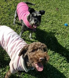 Coco &Pop rugged up for the weekend. :) #suzspetservices
