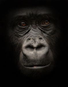 Portrait by Detlef Knapp ---- I am fascinated by gorillas, and this portrait of one is captivating. :-)