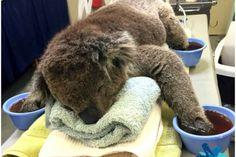 Así cuidan a un tierno Koala de sus quemaduras (Fotos)