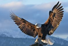 The Amazing Success Story Of Bald Eagle Conservation