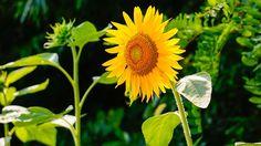 Girassol, Natureza, Flores