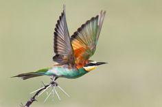 """Taking Flight"", photo by Isak Pretorius of a European Bee-eater taken in the Etosha National Park, South Africa"
