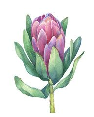 Hand drawn watercolor painting illustration isolated on a white background. Protea Art, Protea Flower, Watercolor Flowers, Watercolour, Watercolor Paintings, Plant Painting, Plant Art, Botanical Wall Art, Botanical Drawings