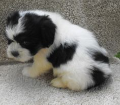 shihchon = shih tzu x bichon frise puppy