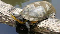 Know Your Michigan Turtles: Blanding's Turtle