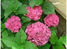 Rostlina | Hortenzie, Hydrangea-pěstování Hydrangea, Rose, Flowers, Plants, Gardening, Veggies, Pink, Roses, Garten