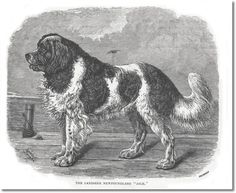 Cassell's Book of the Dog 1881 - Landseer's Newfoundland Black & White Engraving from 1881 Cassell's The Book of the Dog Painting