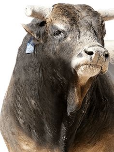 Bull Riding Quotes, Bucking Bulls, Professional Bull Riders, Bull Tattoos, Bull Cow, Baby Cows, Livestock, Cattle, Rodeo