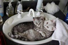 Tabbys in the sink