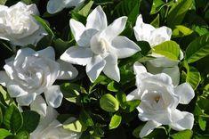Nombre científico o bien latino: Gardenia Jasminoides Sinónimo: Gardenia augusta Nombre común o bien vulgar: Gardenia, Jazmín del Cabo. Familia: Rubiaceae.