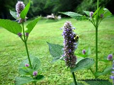 Anise hyssop for the bee garden. www.Gardenchick.com