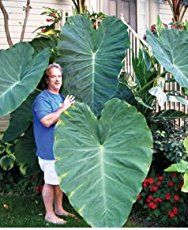 Growing Elephant Ears Plant - Colocasia delivers a bold tropical look to any landscape setting, excellent as potted specimens on patios [LEARN MORE]