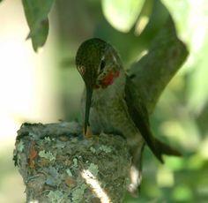 Momma Hummingbird and nest