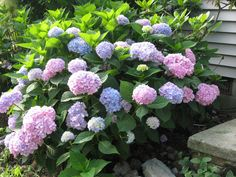With its thick foliage and large, loopy blooms, #hydrangeas create a colorful focal point while upping your #home's #curbappeal.