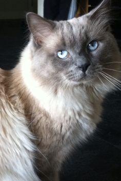 Blue eye ragdoll