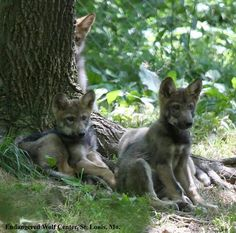 """""""Recently born Mexican Wolf Pups"""" Endangered Wolf Center's photo. Kangaroo, Wildlife, Wolves, Animals, Wolf Puppies, Mexican, Love, Baby Bjorn, Animales"""