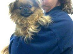 TINKER BELL is an adoptable Pekingese Dog in Louisville, KY.  ...