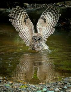 A wonderful shot of a Barred Owl hunting in the water. The reflection makes this picture exquisite. - by photographer Larry Tibbet