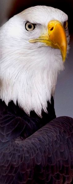 Eagle is a common name for many large birds of prey of the family Accipitridae; Most of the 60 species of eagles are from Eurasia and Africa. Pretty Birds, Love Birds, Beautiful Birds, Animals Beautiful, Majestic Animals, Small Birds, Rapace Diurne, Regard Animal, Animals And Pets