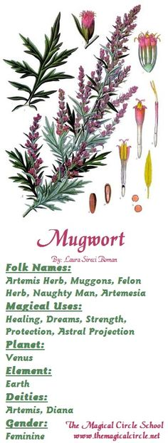 Mugwort - Magical Properties - The Magical Circle School - www.themagicalcircle.net