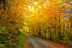 Light filters through the Autumn coloured leaves on a back road near Algonquin Park, Ontario Canada.