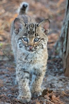 bobcat kitten, the most common wild cat where I live although we do have lynx & cougars which are rapidly increasing lately.