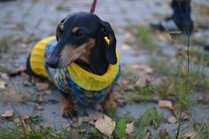{doxie in a sweater} sweetness!