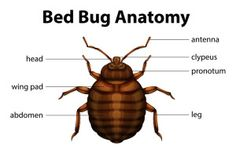 Color Preferences Of Bed Bugs