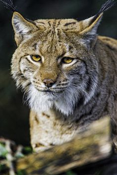 Lynx looking at me