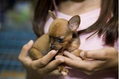 How to Train Chihuahua Puppies (5 Steps) | eHow