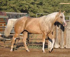 Ranch! Palamino Horse, Winchester Shotgun, American Quarter Horse, Horses For Sale, Palomino, Ranch, Animals, Guest Ranch, Animales