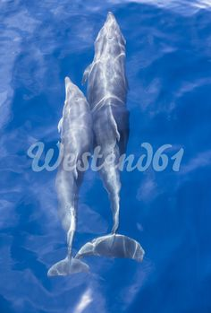 Spain, Andalusia, Bottlenose Dolphins, Tursiops truncatus