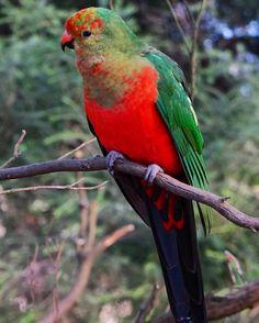 The Australian King Parrot on the Great Ocean Road! #australiankingparrot #kingparrot #parrot #aussielife #greatoceanroad #flipsidetreks #rtwtrek #beautifulbirds #kennettriver #GOR #roadtrip #jubilacion #australia #melbourne #victoria #apollobay #lorne #colors #parrotsofinstagram #visitaustralia #pollywantacracker #outonalimb #rainforest #nature #natgeotravel #birds #tgif #iamlistening #picoftheday #parrots by flipsidetreks