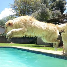 How high can you jump? Golden Retriever. Gabi is 7 months old, still a puppy.