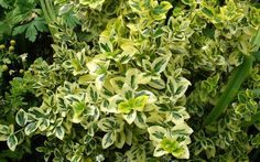 Shrubs can add ample color and energy to your garden. The 10 best small evergreen shrubs recommended can provide a charming environment all year round. Best Shrubs For Shade, Types Of Shrubs, Shade Shrubs, Small Evergreen Shrubs, Evergreen Bush, Trees And Shrubs, Shrubs For Landscaping, Garden Shrubs, Shade Garden