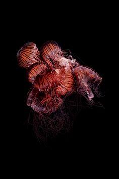 meduses Guido Mocafico