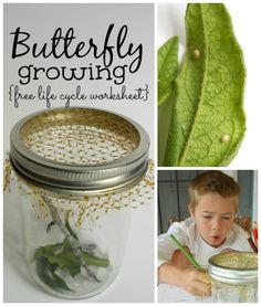Butterfly life cycle worksheet + Super simple caterpillar home.