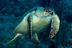 Sea Turtle Decor 8x12 Underwater Photograph by ZahnerPhoto on Etsy