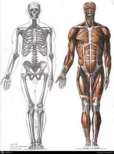 Anatomy for Artists Human Anatomy For Artists, Human Anatomy Drawing, Human Body Anatomy, Human Figure Drawing, Muscle Anatomy, Anatomy Study, Body Drawing, Anatomy Reference, Life Drawing
