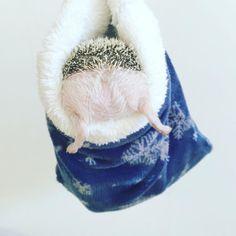 いいね!13.8千件、コメント161件 ― あずき/azukiさん(@hedgehog_azuki)のInstagramアカウント: 「Azuki's cute bottom 今朝もお掃除の時に温めておいた寝袋に入って待機してもらいました ミミちゃんママ(@hedgehog_mimi…」