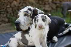 """great dane mom and pup !!!!....The Great Dane has a good disposition, often called a """"gentle giant."""" Charming and affectionate, it is playful and patient with children. It loves everyone and needs to be around people..."""